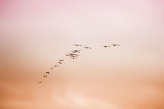 A flock of birds flying in the sky. Pelicans flock of birds flying in the sky Royalty Free Stock Photo