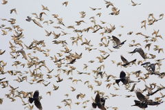 Flock of birds flying, starling, rook, crow, pigeon Stock Images