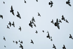 Flock of birds flying Royalty Free Stock Images