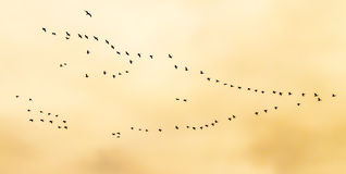 Flock of birds flying in V-formation Royalty Free Stock Image