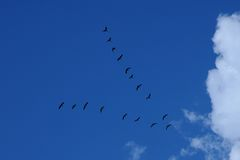 Flock of birds flying a wedge in the blue sky Stock Photo