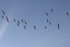 Flock of birds, greater white-fronted goose in flight Stock Photo