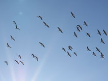 Flock of birds, greater white-fronted goose in flight Stock Photos