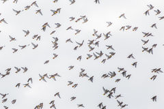 Flock of Birds. On a grey sky day stock photography