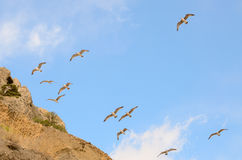 A flock of birds gulls in the sky along the mountainside Stock Photography