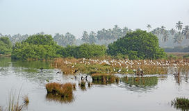 Flock of Birds Hunting in Marshland royalty free stock image