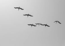 Flock of birds. This image of a group of flying birds was captured in Malibu, California Stock Photo