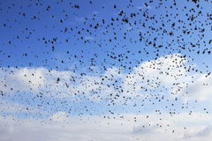 Flock of birds Royalty Free Stock Images