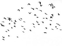 Flock of birds isolated on white Stock Photography