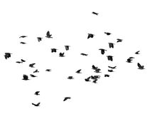 Flock of birds isolated on white Royalty Free Stock Images