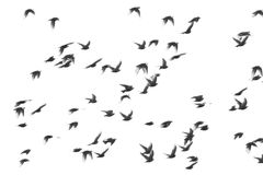 Flock of birds isolated on white background, Starling, Sturnus vulgaris Stock Photography