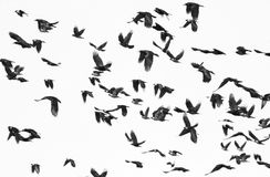 Flock of birds isolated on white background and texture Royalty Free Stock Image