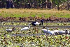 A flock of birds in Kakadu National Park Royalty Free Stock Photo