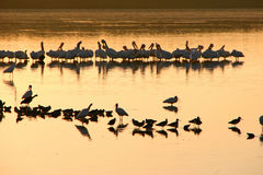 Flock of birds on lake. Silhouetted flock of birds on lake or sea at sunset, Ding Darling, Sanibel, Florida, U.S.A Stock Image