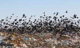 Flock of birds on landfill Stock Photos