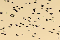 Flock of birds in a late evening sky Royalty Free Stock Images