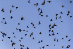 Flock of birds that migrate. A flock of birds that migrate Royalty Free Stock Images