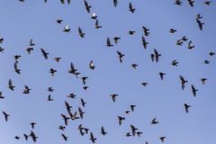 Flock of birds that migrate Stock Images