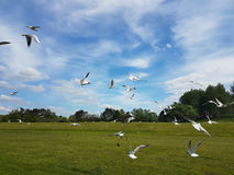 Flock of Birds. A flock of birds, mostly seagulls, coming in to land on a field Royalty Free Stock Photos