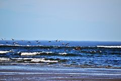 Flock of birds by the ocean Royalty Free Stock Photos