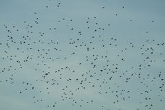 Flock of birds over blue sky Royalty Free Stock Photography