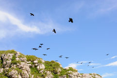 A flock of birds over the cliff Royalty Free Stock Image