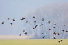 Flock of birds over country field Stock Photography