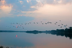 Flock of birds over lake. Scenic view of silhouetted flock of birds flying over lake at dusk Stock Photo