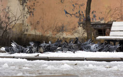 Flock of birds pigeons pecking in the snow something, courtyard, Stock Photo