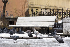 Flock of birds, pigeons in the snow in the city yard, puddles, b Stock Photos