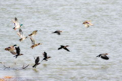Flock of birds, pygmy cormorant and mallard in flight Stock Images