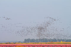 Flock of birds in red lotus lake Royalty Free Stock Photo