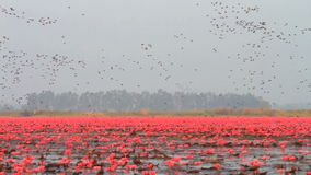 Flock of birds at red lotus lake Royalty Free Stock Photography