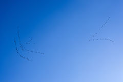 Flock of birds returning home on a background of blue sky Royalty Free Stock Image
