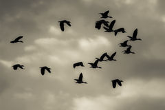 Flock of birds returning home royalty free stock photos