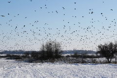 Flock of birds Rook and Jackdaw Royalty Free Stock Images