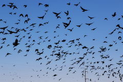 Flock of birds Rook and Jackdaw Stock Photos