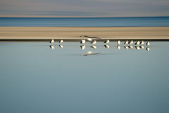 Flock of Birds in Row. A small flock of birds from a breeding colony Gulls standing in series at the Salton Sea in California Royalty Free Stock Images