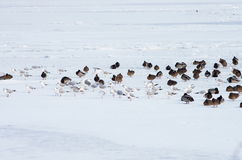 A flock of birds. A flock of seagulls and wild ducks resting on ice Stock Photography