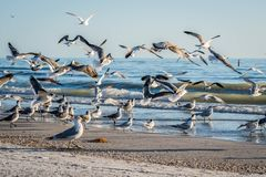 Flock of birds seen soaring high above the the sky in Anna Maria Island, Florida. A noticeable bunch of birds spotted migrating together in the beach side of royalty free stock photos