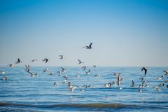 Flock of birds seen soaring high above the the sky in Anna Maria Island, Florida. A noticeable bunch of birds spotted migrating together in the beach side of stock image