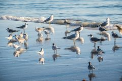Flock of birds seen soaring high above the the sky in Anna Maria Island, Florida. A noticeable bunch of birds spotted migrating together in the beach side of stock photography