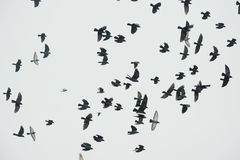 Flock of birds silhouette Royalty Free Stock Image