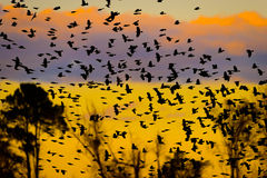 Flock Of Birds Silhouette at Sunset Royalty Free Stock Photo