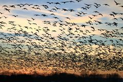 Flock of birds silhouette at sunset. Flock of birds silhouette at sunset with a cloudy, orange and yellow sky stock image