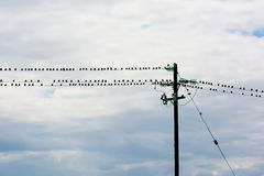 Flock Of Birds Sitting On Electric Wire Royalty Free Stock Images