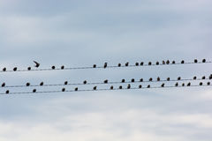 Flock Of Birds Sitting On Electric Wire Stock Image