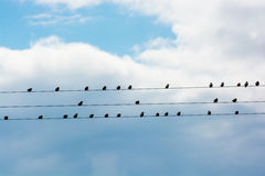 Flock Of Birds Sitting On Electric Wire Stock Images