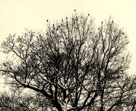 Birds on the tree. A flock of birds sitting on a tree on a winter day.Monochrom and toning Stock Photography