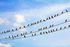 A flock of birds sitting on wires Royalty Free Stock Photography